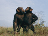 A Pair of Orphan Chimpanzees at the Tchimpounga Sanctuary