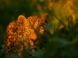 A Leopard  Panthera Pardus  in Tall Grasses at Twilight