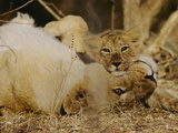 Asian Lions  Panthera Leo Persica  Mother and Cub
