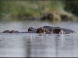 A Submerged Hippopotamus  Hippopotamus Amphibius  Surfaces for Air