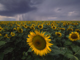 A Field of Sunflowers under a Dark and Stormy Cloud-Filled Sky