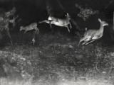 Deer Leap in Earliest Nighttime Flash Photography Shot