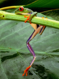 A Red-Eyed Tree Frog  Agalychnis Callidryas