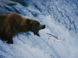 A Grizzly Bear Opens Wide for a Mouth Full of Salmon