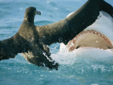 A Shark Threatens a Fledgling Albatross