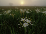 Spider Lilies Thriving on a Tallgrass Coastal Prairie