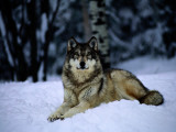 A Captive Grey Wolf  Canis Lupus  in the Snow