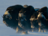 Musk-Oxen  Ovibos Moschatus  Huddle in a Protective Formation