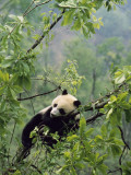 A Young Male Giant Panda  Ailuropoda Melanoleuca  Awaits its Mother