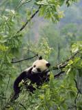 A Young Male Giant Panda  Ailuropoda Melanoleuca  Awaits its Mother