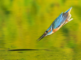 Adult Male Common Kingfisher  Alcedo Atthis  Diving to Catch Fish
