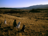 A Rancher and His Dogs Watch His Grazing Sheep
