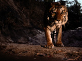 An Indian Tiger  Panthera Tigris Tigris  Walks Toward the Camera