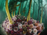 Sea Urchins Munch on Bits of Algae Fallen from Kelp Stalks