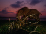 Forest Elephant  Loxodonta Africana Cyclotis  Walking Along a Beach
