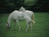 A Pure White Thoroughbred Mare and Her Foal