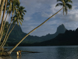 Coconut Palms Lean over Moorea's Tranquil Waters