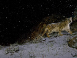 A remote camera captures a snow leopard in the falling snow