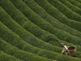 A Farmer Picks the Year's First Tea Crop from Waves of Green