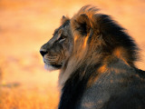 An Adult Male African Lion  Panthera Leo