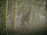 A Giraffe Walking in a Misty Forest in the Ndumu Game Reserve