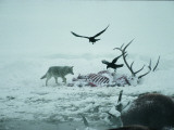 An Elk Carcass Becomes a Snowy Buffet for a Coyote and Two Ravens