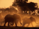 A Group of African Elephants  Loxodonta Africana  Stir Up Dust Clouds