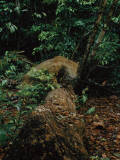 A Male Jaguar Prowling His Territory