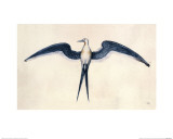 Frigate Bird