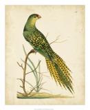 Nodder Tropical Bird IV