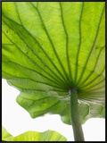 Lotus Leaf Texture