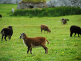 Soay Sheep Grazing in the Abandonded Village of Hirta