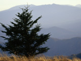 A Lone Spruce Tree and the Appalachian Mountains Ridges in Distance