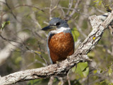 Ringed Kingfisher Perched on a Tree Branch  Pantanal  Brazil