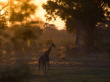 A Giraffe in the Okavango Delta Area of Botswana