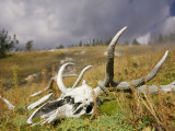 Bleached Antlers and Skull in a Mossy Meadow Mark the Demise of a Bull Elk