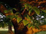 Close Up of a Branch of an American Beech Tree