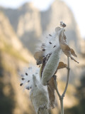 Close Up of Milkweed Seeds and Pods Growing in Yosemite Valley