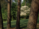 Blooming Dogwood Tree Among Pine Trees