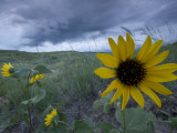 Plains Sunflowers in the Grasslands are Threatened by Stormclouds