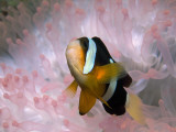 Clark's or Yellow-Tailed Anemonefish  Amphiprion Clarkii