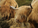 Highland Cattle Feeding in a Pasture