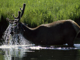 A Bull Elk Forages for Bottom-Growing Plants in the Madison River