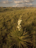 A Yucca Plant Grows on the Little Missouri National Grasslands