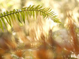 A Common Sword Fern  Polystichum Munitum