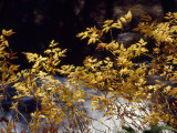 Looking Glass Creek Rushing Past a Bush in Autumn Colors