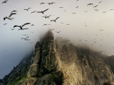 Cloud Covers a Sea Bird Rookery High on a Sea Stack Cliff
