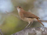 A Rufous Hornero  Furnarius Rufus  Perched on a Tree Branch