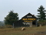 A Pig Forages Outside a Barn with Tobacco Advertising