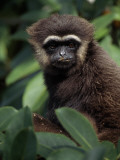 Agile Gibbon  Hylobates Agilis  in a Giant Strangler Fig Tree